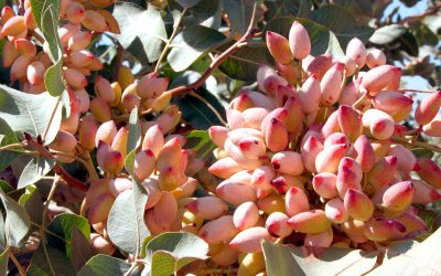 Fertilization plan for pistachio or pistachio tree
