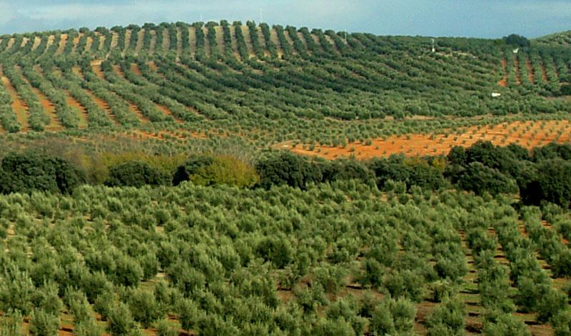 Abonado del olivar
