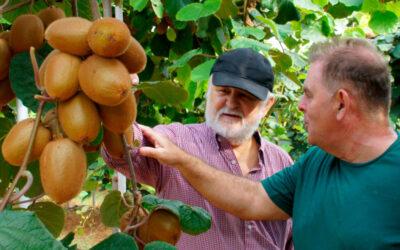 Engorde de frutos en el cultivo de kiwi