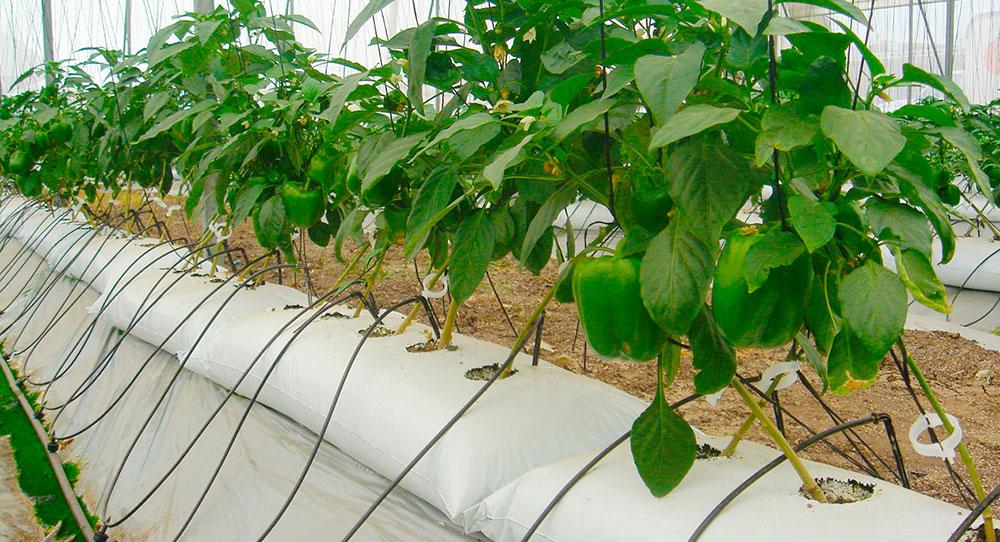 Bolsas de cultivo sin suelo con perlita