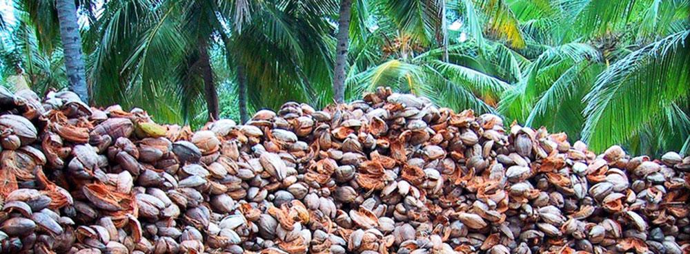 Cáscara de coco en origen