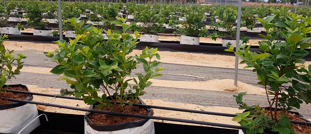Cultivo de arbustos en fibra de coco al exterior
