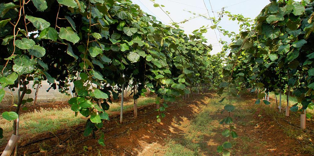 Cultivo de kiwi bajo malla