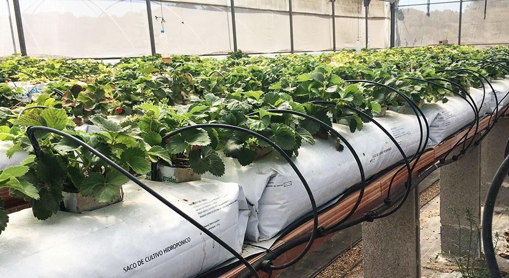 Cultivo hidropónico de fresas en sacos de perlita