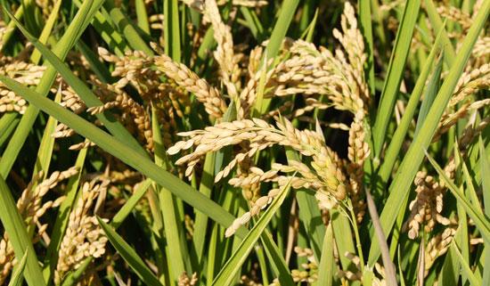 Cómo aumentar la producción de arroz