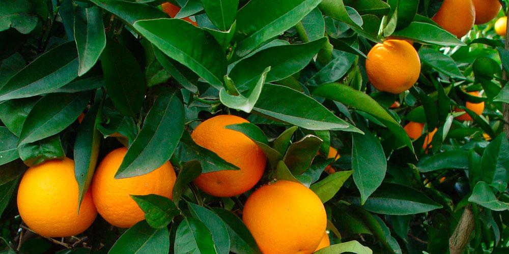 Fertilización de naranjos con cobre