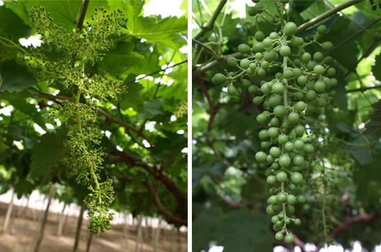 Más cosecha de uva de mesa con Furdos