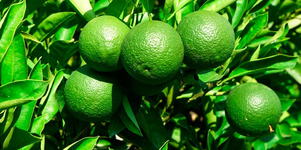 Fertilizantes para naranjos en verano
