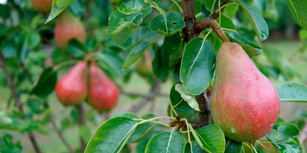 Frutales abonados con Glicina betaína
