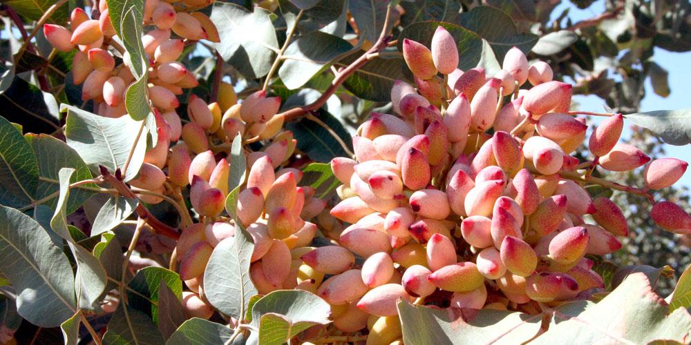 Frutos de pistacho en producción