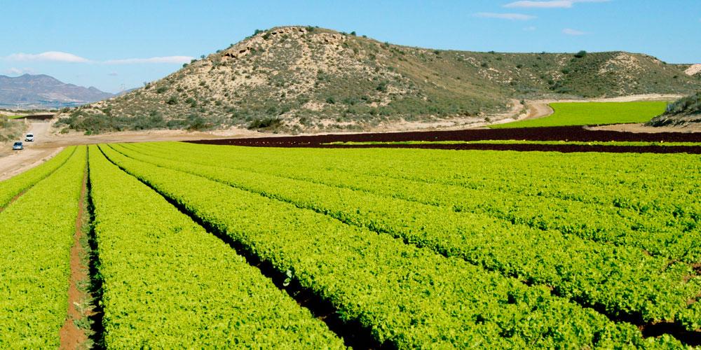 Glicina betaína como bioestimulante agrícola
