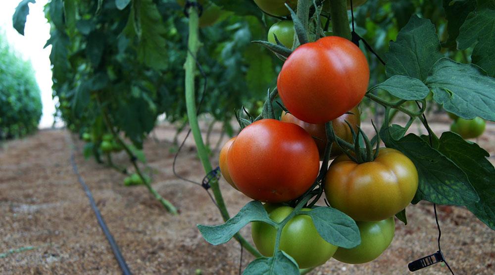 Tomates abonados con Glicina betaína